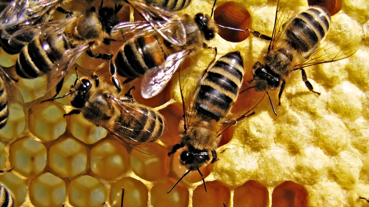 honey-bees-background-image-new-wallpaper-free.jpg