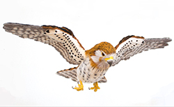 Needle Felting Open-Winged Birds: Mauritius Kestrel