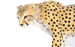 Needle Felt Cat Sculpture: Cheetah